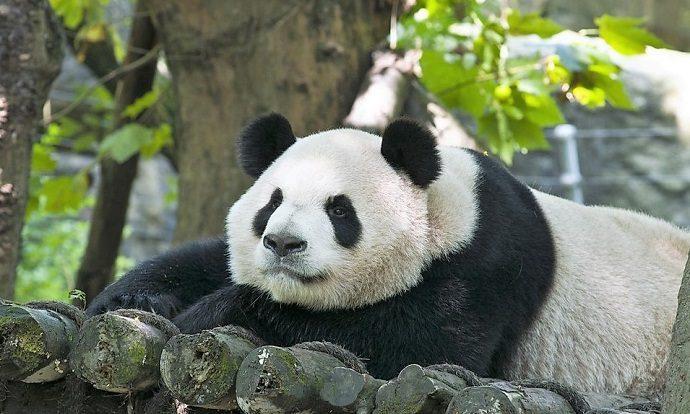 cosa visitare cina amanti animali panda